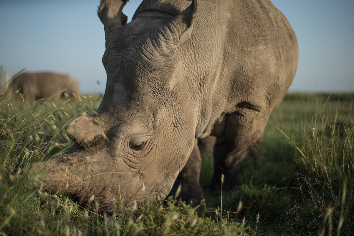 One of the last two female northern white rhinos on earth